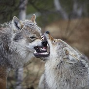 Scientists found that while foxes can thrive in wolf territory, coyotes do not.