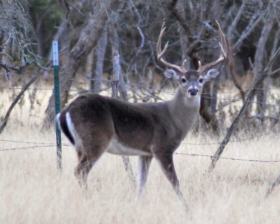 Opponents of high-fence hunting say that captive deer more easily transmit and contract disease in comparison with their wild brethren.