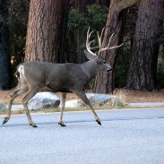 Although bucks are more desirable, wildlife officials are thinking of skewing Catalina's deer hunt more toward does.