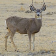 Biologists believe that competition with whitetail deer led the mule deer population to drop from 900 to 400 along Wyoming's border with Idaho.