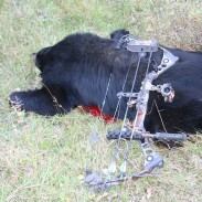This bear went 40 yards in five seconds and dropped within sight after being shot through the heart with a sharp broadhead. Shot placement and penetration is the key to putting them down fast.