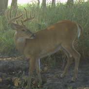 Deer will come to the minerals regularly, allowing you to take an inventory of the bucks in your area.
