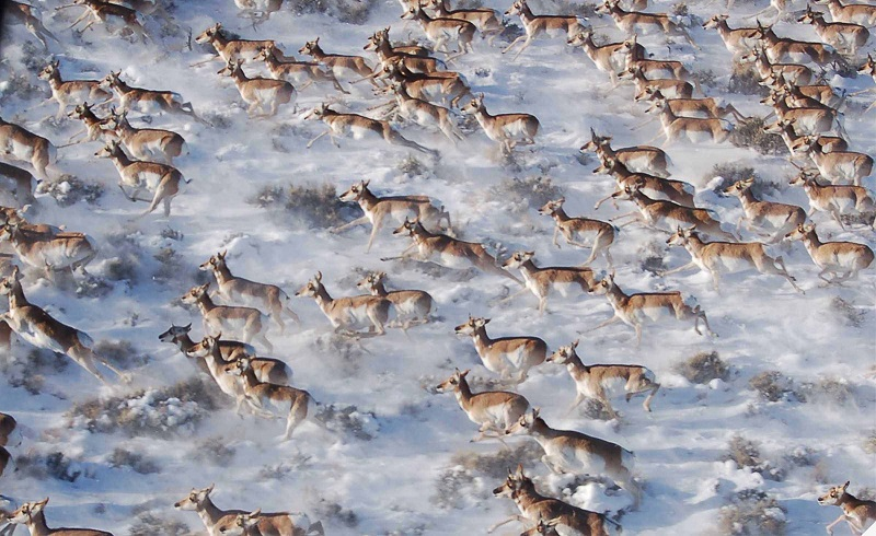 """Moving Beyond Science to Protect a Mammalian Migration Corridor"" paper explores the Path of the Pronghorn."