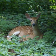 Two fawns were reunited with their mother after being trapped near Lake Oconee.