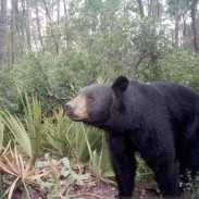 A black bear in Florida's Ocala National Forest activates a camera trap. Ocala is believed to have the highest density of black bears in the nation.