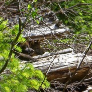 Two wolf pups found inside a log within the Rogue River-Siskiyou National Forest.