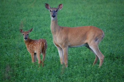 While harsh winters usually mean fewer fawns, so far things are looking good for Michigan's deer herd.