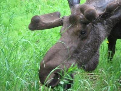 Study Moose Spit Counteracts Toxic Fungi