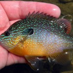 A male longear sunfish. You can clearly see its elongated opercular flap, which gave the fish its name.