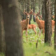 Large deer populations risk mass starvation if forage is low. Hunters can help control deer numbers and revitalize the forests they live in as well.