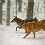 New Boston village officials say that coyotes, sometimes mistaken for wild dogs, are overrunning the town.