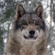 A recent court decision clarified whether hunters could train dogs to hunt wolves in Wisconsin.