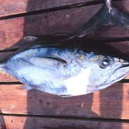 West Coast anglers may find that unfamiliar fish like this yellowfin tuna are ending up in their nets, thanks to El Niño.