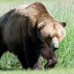 A Sterling, Alaska resident shot and killed a bear after it repeatedly tried breaking into his house.