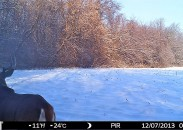 """One buck, nicknamed """"Sir Prize,"""" that the author has had the pleasure of observing year after year. His prominent right shoulder blade makes him easily identifiable."""