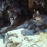 "Mountain lions may be capable of making ""friends."""