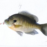 A nice male bluegill that fell for a Bo's Bluegill Buster on a southwest Michigan lake.