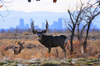 Colorado's largest mule deer herd, and the largest in the country, has dwindled to less than 32,000 animals from 105,000 a decade ago.