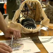 The jaw of the new bowfishing world record mako along with certificates from the BAA.