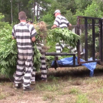 Officers and Polk County inmates spent more than four days at an illegal marijuana grow site, netting more than 100,000 plants.