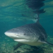 Are sharks in your favorite lake? Unless it's actually a salty estuary being used by bull sharks as a nursery, probably not.
