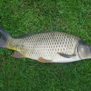 Common carp in Wisconsin waters are dying from a disease introduced by their cousins, koi.