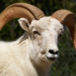 As the Dall sheep population in the western Brooks Range drops by more than 75 percent, wildlife officials are scrambling to close the hunting season.