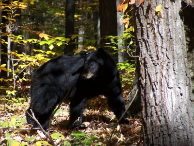 Hunters hit the woods for Maine's black bear opener Monday, but a November referendum could mean the end of baiting, trapping, and the use of hounds.