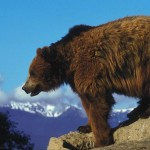 After 34 years on Washington's endangered species list, the grizzly may soon be restored to the North Cascades.