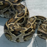 Burmese pythons have a varied diet of mammals and birds, and some will even target small alligators as well.