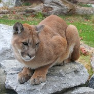 One Colorado hiker spent a tense 20 minutes serenading a mountain lion with her singing.