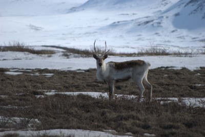 New research finds that western caribou herds are at risk of losing vast swaths of their habitat, and will have to move north.