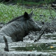 There are more than 500,000 feral hogs in Louisiana.