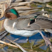 For the first time in 46 years, Michigan hunters will be getting a shot at teal.