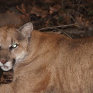 This mountain lion, named P-22, is one of the few able to escaped the isolated population in the Santa Monica Mountains.