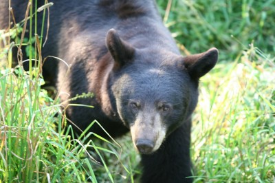 Black bears are secretive animals and despite the fact that they are apex predators, they avoid humans. Baiting bears is by far the most effective way of controlling their numbers and it provides for an amazing hunting experience.