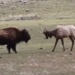 bison vs elk