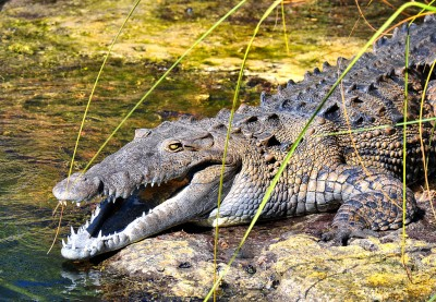 Florida Officials Confirm First Ever Wild Crocodile Attack in the US