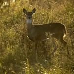 Harvest numbers are up, but officials say that Louisiana's deer are still in danger of losing habitat.
