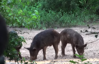 Video Young Crossbow Hunter Bags Two Feral Hogs with One Shot