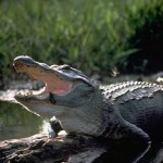 Alligators are distributed all across the Gulf Coast, but nowhere are they more iconic than in Florida.