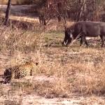 leopard ambush