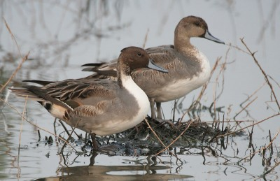 Habitat and food shortages will pose problems for birds migrating through California, and officials are worried about disease in crowded populations.