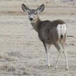 """Scientists say that mule deer does display """"altruistic"""" behavior, rushing to the aid of young animals in distress regardless of their species."""
