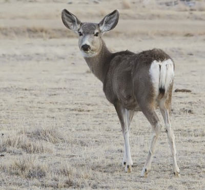 "Scientists say that mule deer does display ""altruistic"" behavior, rushing to the aid of young animals in distress regardless of their species."