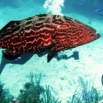 Goliath groupers make for good eating, but fishermen say that the large predators are also decimating other sport fish.