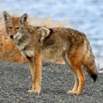 Coyotes in South Carolina have plateaued, but not at a number that many would like.