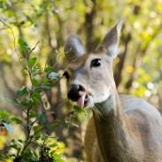 Female deer are dropping dead in an Idaho town, and officials are perplexed why.