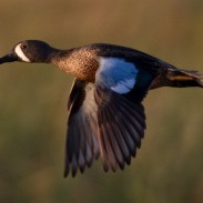 Blue-winged teal are almost always the first ducks to migrate south every fall.