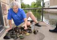 Lisie Kitchel, the Wisconsin DNR's top mussel expert, identifies native freshwater mussels from the Pigeon River in downtown Clintonville. The DNR moved about 680 mussels from beneath the Main Street bridge to downriver sites to ensure they aren't harmed next spring when the bridge is replaced.
